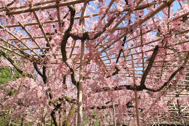 格子紅枝垂れ桜