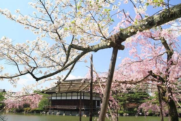 桜咲く神苑