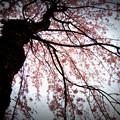 写真: 枝垂れる