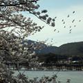 写真: 春の嵐山_2