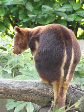 セスジキノボリカンガルー@よこはま動物園ズーラシア