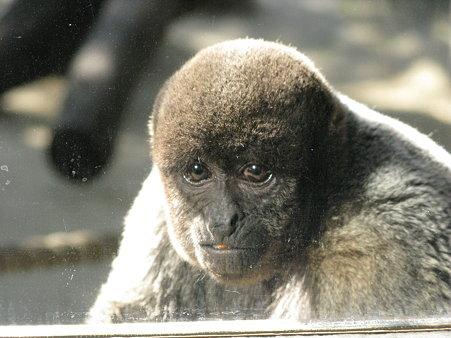 コモンウーリーモンキー@よこはま動物園ズーラシア