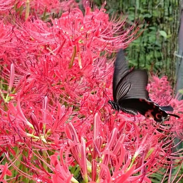 彼岸花と黒揚羽