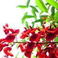 Photos: 紅い燃えるような花 アメリカディゴ