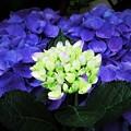 極彩色 紫陽花