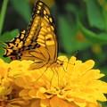 写真: 夏の思い出 アゲハチョウ