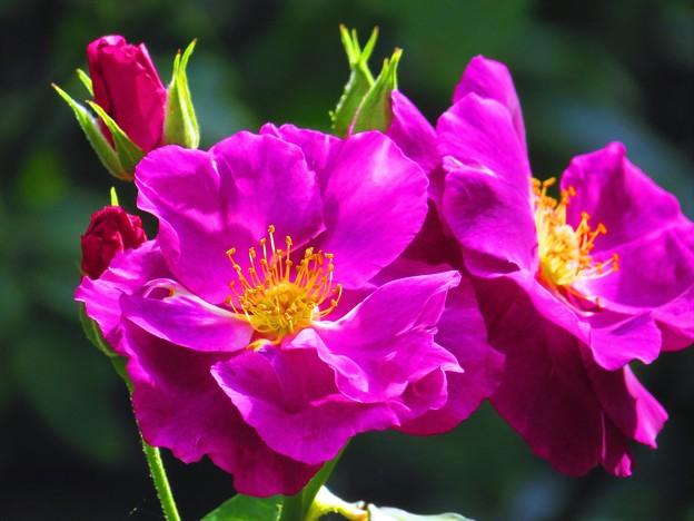 Photos: 輝き ピンク