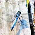 Photos: 青いトンボ