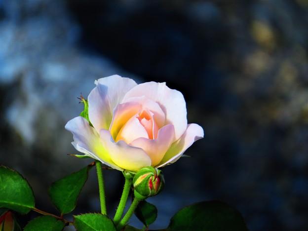 Photos: 今日観た風景 薔薇3