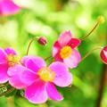 写真: Pink1