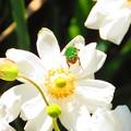 写真: 花の上の生き物たちハナムグリ
