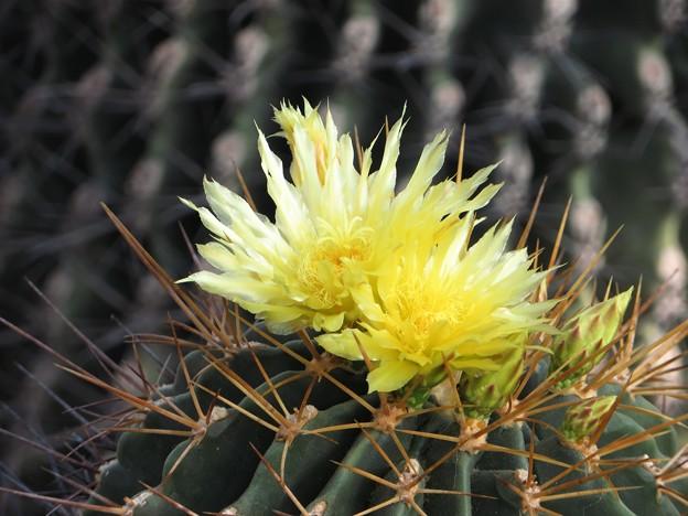 サボテンの花3