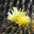写真: サボテンの花3