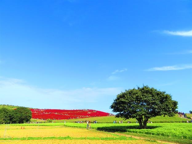 昨日見た風景 コキアの丘