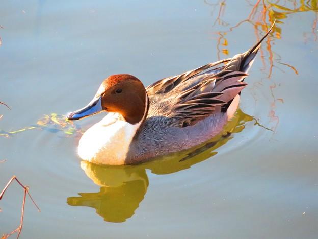 写真: 秋に出会った光景 鴨