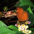 南の島で出会った蝶達4