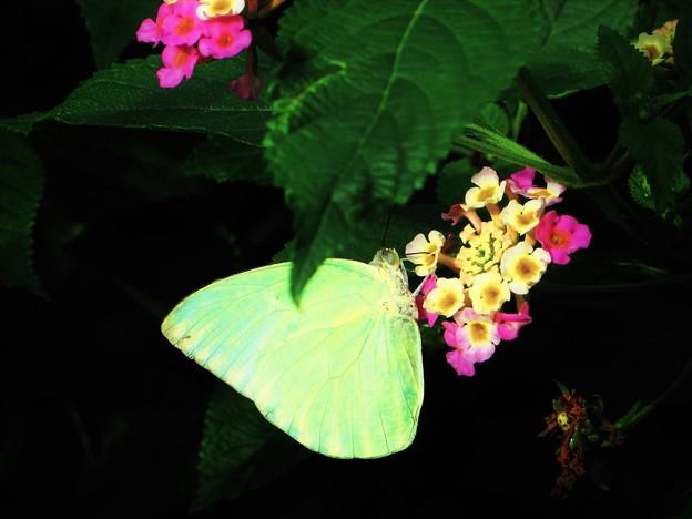 Photos: 南の島で出会った蝶達5