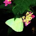 南の島で出会った蝶達5