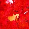 今日観た紅葉 いちょうともみじ