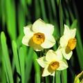 昨日観た花 水仙