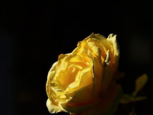 Photos: 12月に観た花 薔薇黄色