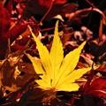 12月に観た紅葉 もみじ黄色