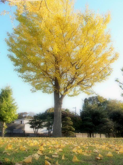 百目木公園の紅葉2014-1 (1)