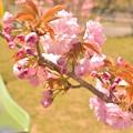 Photos: 八重桜の公園