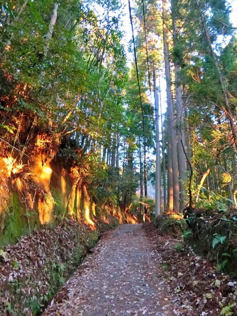 早朝ハイキング(9) 杉木立から朝日
