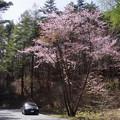 写真: 桜道♪