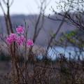 写真: アカヤシオ咲く♪