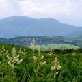 写真: コバイケイソウ咲く