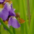 写真: 湿原のセセリン