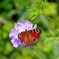 写真: 孔雀蝶