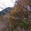 紅葉と冬桜