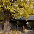 写真: 祖父江イチョウ黄葉祭り (36)