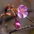 極楽寺公園:河津桜 (3)