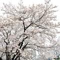 Photos: 花曇り