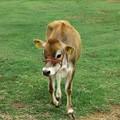写真: 子牛