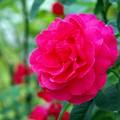 写真: 秋の薔薇