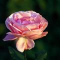 写真: 野薔薇
