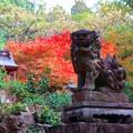 写真: 秋の狛犬
