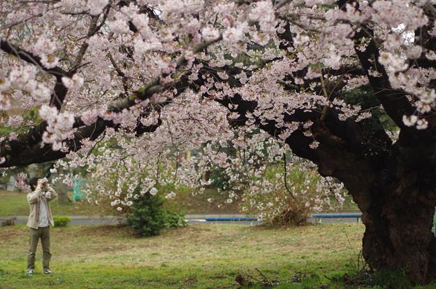 八柱の桜 (3)