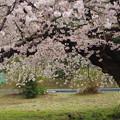 写真: 八柱の桜 (3)