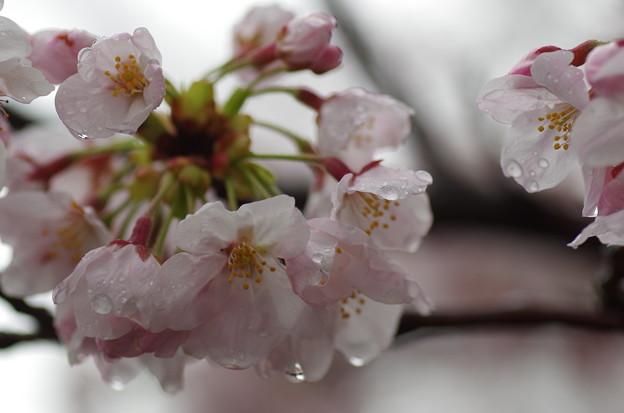松戸の桜 (1)
