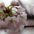 写真: 松戸の桜 (1)