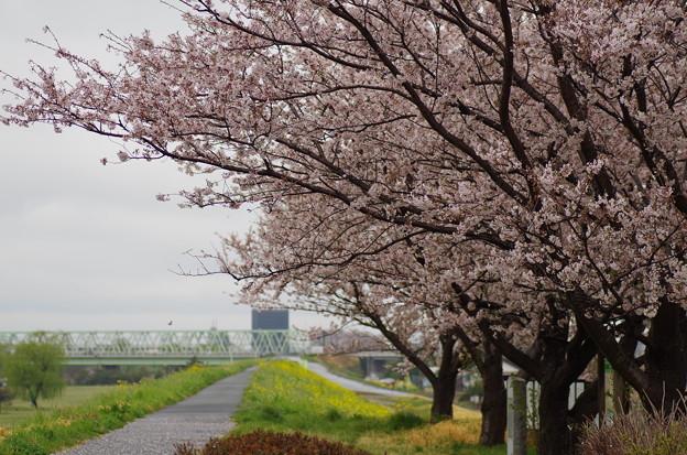 松戸の桜 (5)