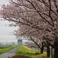 写真: 松戸の桜 (5)