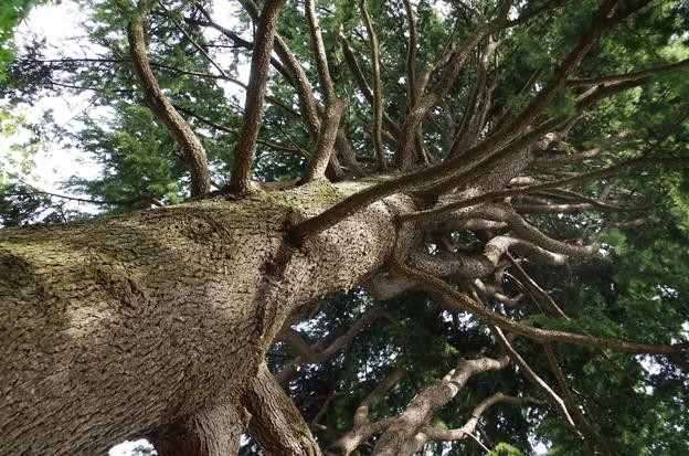 ヒマラヤ杉 (2)