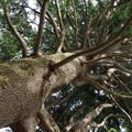 写真: ヒマラヤ杉 (2)